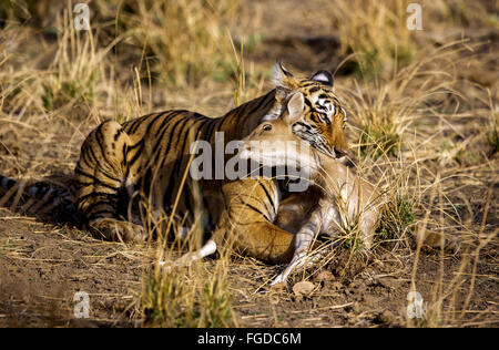 Indian Tiger (Panthera tigris tigris) adult, with Spotted Deer (Axis axis) kill, Ranthambore N.P., Sawai Madhopur, - Stock Photo
