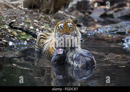 Indian Tiger (Panthera tigris tigris) adult, with Sambar (Rusa unicolor) kill in water, Ranthambore N.P., Sawai - Stock Photo