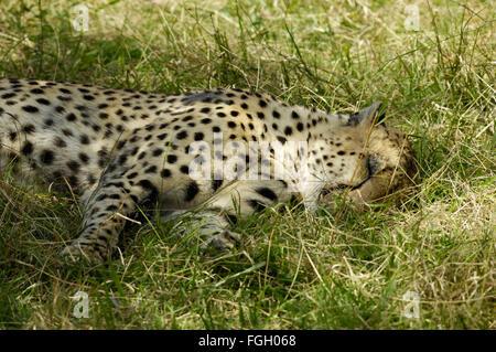 Cheetah in the Serengeti - Stock Photo