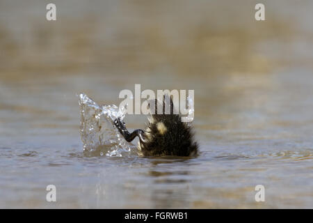 Mallard Duckling (Anas platyrhynchos) up-ending to get to the tasty weeds. - Stock Photo