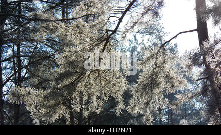 Branch of pine under a bright winter sun. On the forest background - Stock Photo