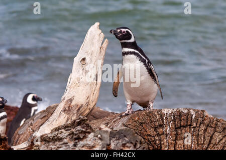 Magellan Penguin - Picture taken at the Seno Otway Penguin Colony near Punta Arenas, Chile. - Stock Photo