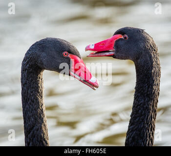 Courting pair of Black Swans Cygnus atratus displaying to each other by head bobbing and calling - Slimbridge UK - Stock Photo