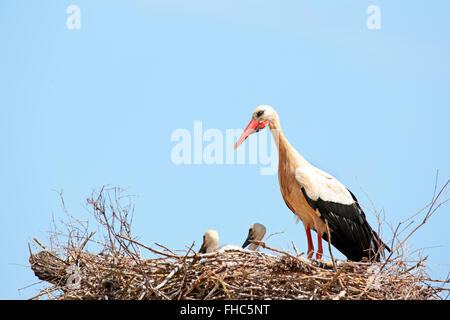 White storks with young baby stork on the nest - Ciconia ciconia - Stock Photo