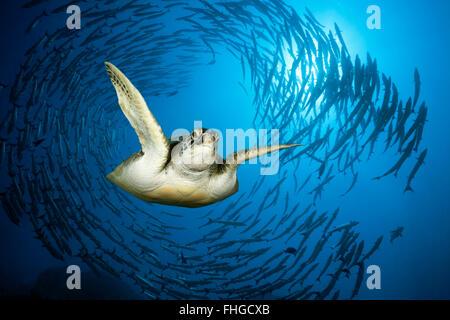 Green Sea Turtle and Shoal of Blackfin Barracuda, Chelonia mydas, Red Sea, Ras Mohammed, Egypt - Stock Photo