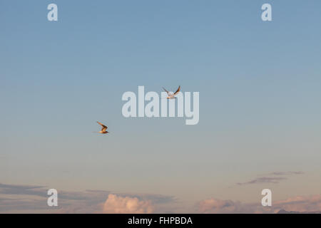 Two birds flying in the sky over Reykjavik, Iceland - Stock Photo
