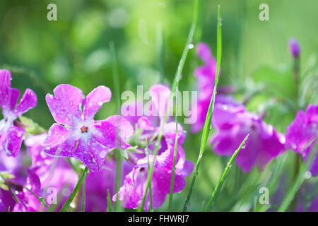 Purple spring flowers on green grass background - Stock Photo