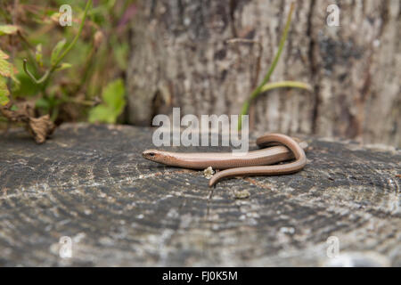Slow Worm; Anguis fragilis Single Female Cornwall; UK - Stock Photo