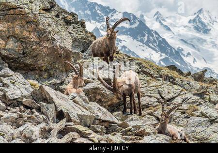 Group of Alpine Ibex, Swiss Alps, Switzerland   Gruppe Alpen-Steinboecke, Pontresina, Graubuenden, Schweiz - Stock Photo
