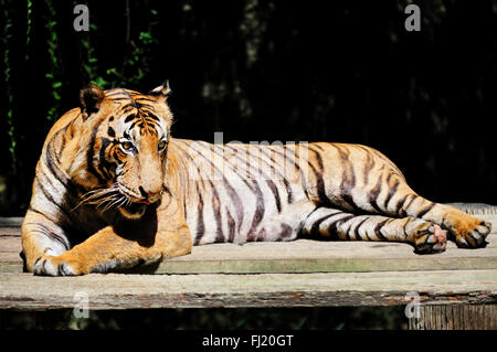 Malayan tiger - Panthera tigris jacksoni - Stock Photo