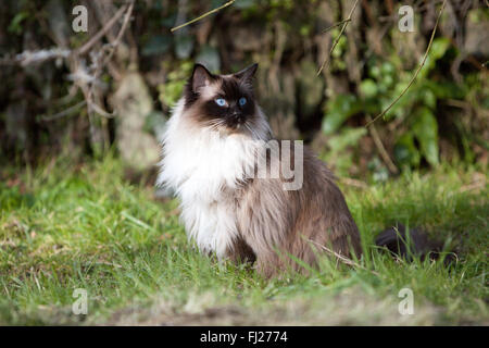 Seal Mitted Ragdoll Cat In The Garden - Stock Photo