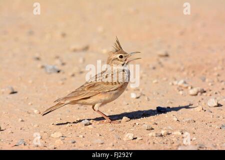 Crested lark , Galerida cristata sings - Stock Photo