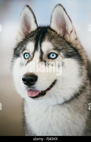 Close up blue-eyed Gray Adult Siberian Husky Dog portrait - Stock Photo