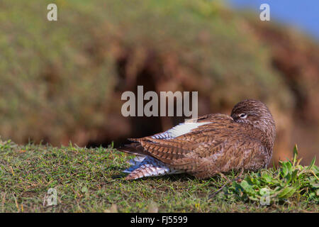 common redshank (Tringa totanus), sleeping in breeding plumage at a cliff, side view, Germany, Schleswig-Holstein - Stock Photo