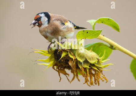 Eurasian goldfinch (Carduelis carduelis), sitting on a withered sunflower and eatting, side view, Germany, Brandenburg - Stock Photo