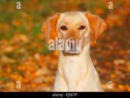 mixed breed dog (Canis lupus f. familiaris), Labrador Magyar Vizsla mixed breed dog sitting in autumn foliage, Germany - Stock Photo