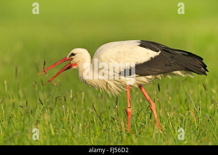 white stork (Ciconia ciconia), feeds a caught slow worm, Germany, Brandenburg - Stock Photo