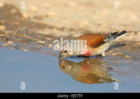 linnet (Carduelis cannabina, Acanthis cannabina), male drinking at a water hole; mirror image, Bulgaria, Kaliakra - Stock Photo