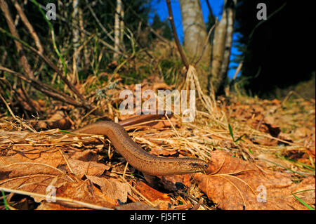 European slow worm, blindworm, slow worm (Anguis fragilis), male slow worm winding through foliage, Germany, Baden - Stock Photo