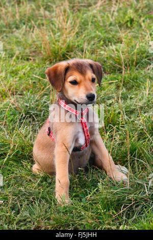 mixed breed dog (Canis lupus f. familiaris), 12 weeks old mixed breed dog sits in a meadow, Germany - Stock Photo