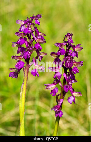 Green-winged orchid, Green-veined orchid (Orchis morio, Anacamptis morio), inflorescences, Germany - Stock Photo