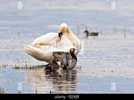 mute swan (Cygnus olor), Mute Swan and Pochards pair, Aythya ferina, Austria, Burgenland - Stock Photo