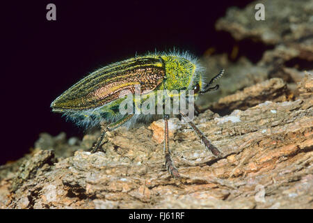 jewel beetle (Julodis pubescens subsp. yveni, Julodis pubescens subsp. iveni, Julodis pubescens yveni), on wood - Stock Photo