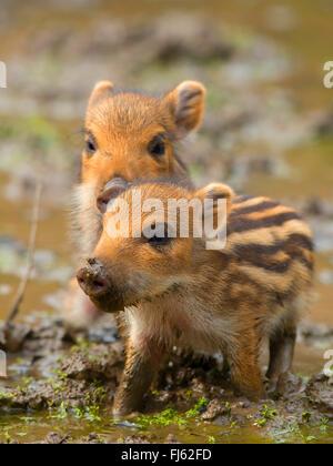 wild boar, pig, wild boar (Sus scrofa), two shoats standing together in mud, Germany, North Rhine-Westphalia, Sauerland - Stock Photo