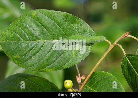 brimstone (Gonepteryx rhamni), caterpillar feeds on alder buckthorn, sits on the main leaf vein for mimesis, Germany - Stock Photo