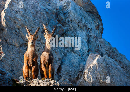 Alpine ibex (Capra ibex, Capra ibex ibex), two Alpine ibexes standing in morning light side by side on a cliff edge - Stock Photo