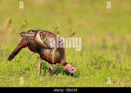 common turkey (Meleagris gallopavo), male on the feeds in a meadow, USA, Florida, Kissimmee - Stock Photo