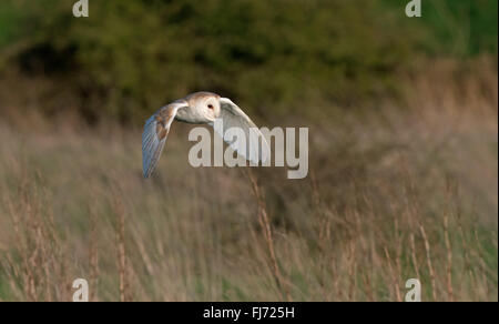 Barn Owl-Tyto alba hunting. Winter. Uk - Stock Photo