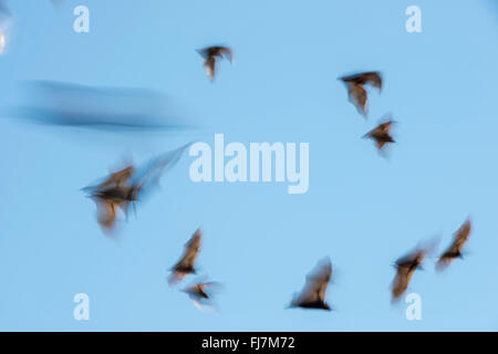 Little Red Flying-fox  (Pteropus scapulatus)flying with motion blur. This massive colony, estimated to peak at about - Stock Photo