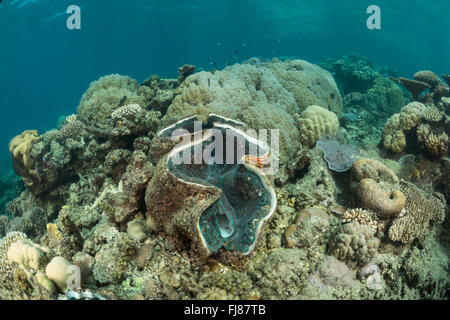 Giant clam in coral reef. There were very many big healthy giant clams in the surveryed reefs. Porites coral head - Stock Photo