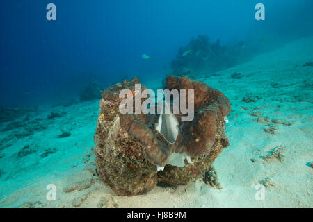 Giant clam (Tridacna gigas) in the reef.  There were very many big healthy giant clams in the surveryed reefs. - Stock Photo