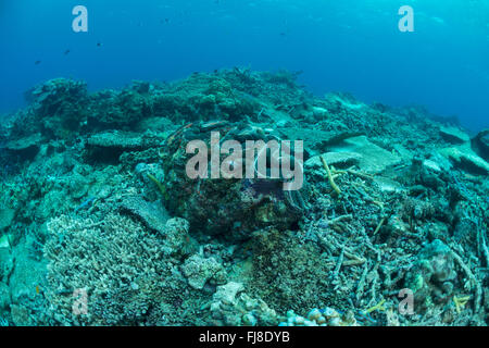 Cyclone damaged reef with living giant clam (Tridacna gigas). - Stock Photo