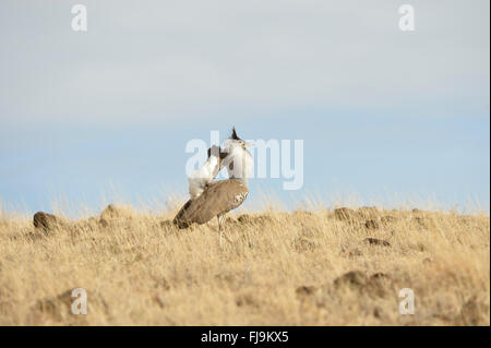 Kori Bustard (Ardeotis kori) adult male displaying, Lewa Wildlife Reserve, Kenya, October - Stock Photo
