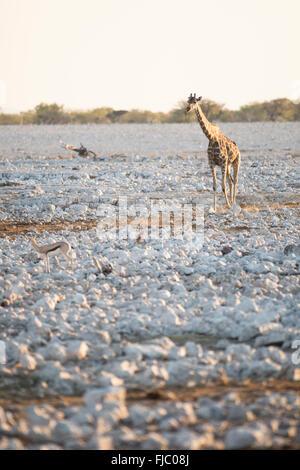 Giraffe in Etosha National Park. - Stock Photo