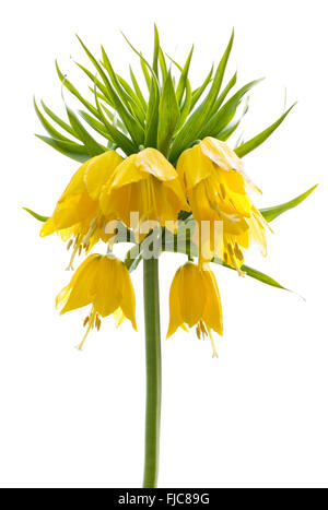 Yellow Fritillaria imperialis (Crown imperial or Kaiser's crown) isolated on white background - Stock Photo