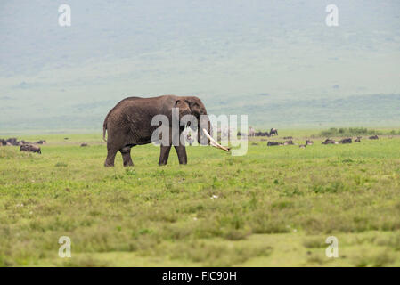A large-tusked African elephant (Loxodonta africana) in the Ngorongoro Crater, with zebra and wildebeest in the - Stock Photo