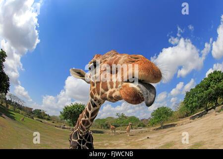 Reticulated Giraffe, adult portrait, Africa / (Giraffa camelopardalis reticulata) - Stock Photo