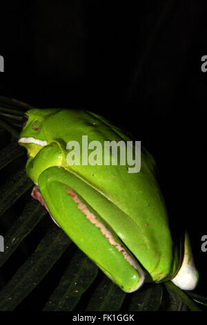 Green white lipped tree frog on Palm Leaf, in the wild,  Australia, taken from behind at night - Stock Photo