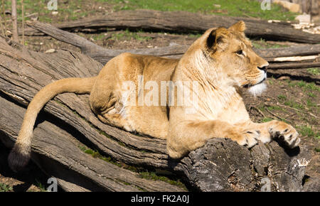 Lioness resting over fallen tree - Stock Photo