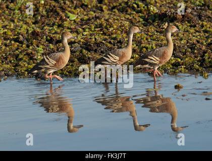 Plumed Whistling-duck (Dendrocygna eytoni), Yellow Water Billabong, Kakadu National Park, Northern Territory, NT, - Stock Photo