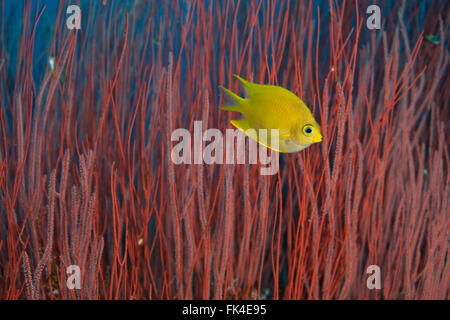 Red whip corals or sea whips (Ellisella sp.) with golden damselfish (Amblyglyphidodon aureus) - Stock Photo