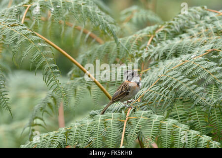 A ringed Rufous-collared Sparrow perched on ferns, singing. - Stock Photo