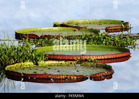 Water lilies in the Pantanal of Pocone - Victoria amazonica - Stock Photo