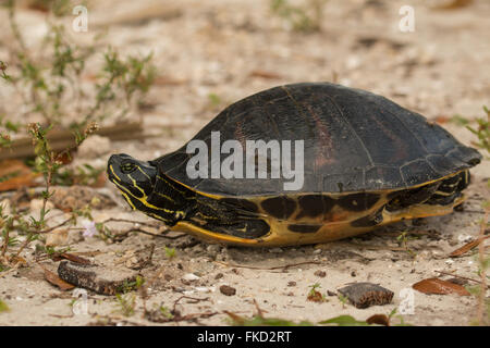 Florida Redbelly turtle - Pseudemys nelson - Stock Photo