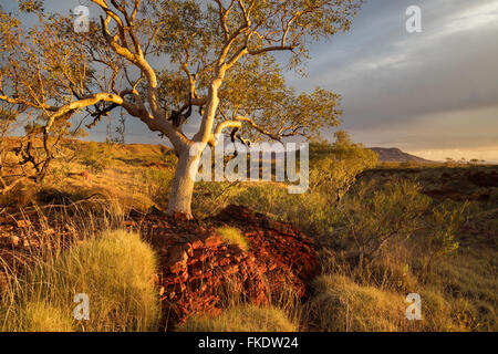 a eucalyptus tree in the last light of day, Hamersley Gorge, Karijini National Park, Pilbara, Western Australia - Stock Photo