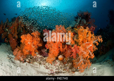 A school of glassy sweepers in gorgonian fans and soft corals in the reef. - Stock Photo